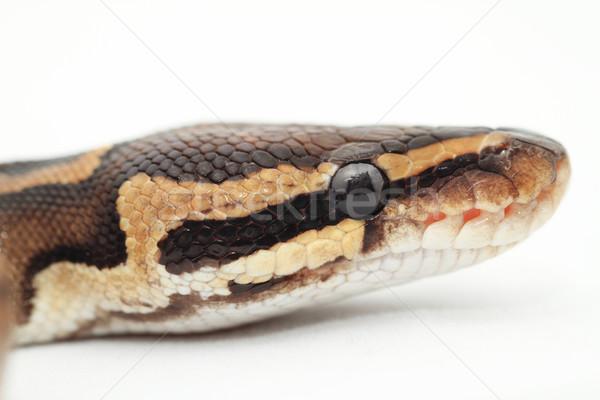 Bal python oog gezicht huid Stockfoto © Nneirda