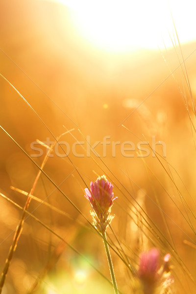 Meadow at sunset Stock photo © Nneirda