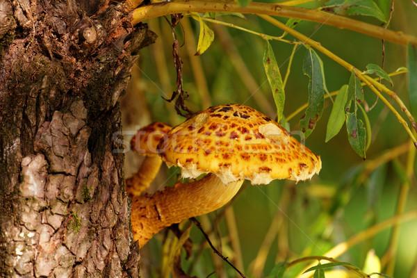 ブラウン ツリー 菌 写真 美しい 食品 ストックフォト © Nneirda