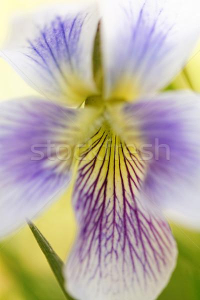Kleurrijk bloem foto paars gele bloem Stockfoto © Nneirda