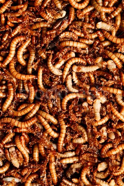 mealworms Stock photo © Nneirda