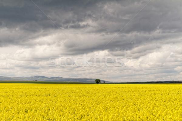 Stock photo: Colza field