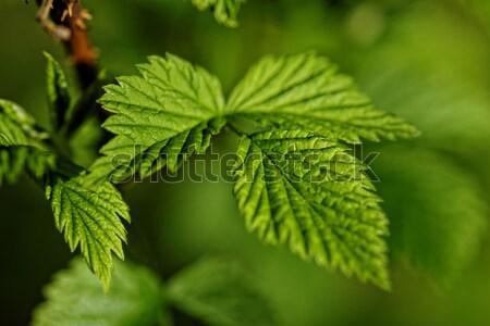 волосатый листьев фото зеленый лист Сток-фото © Nneirda