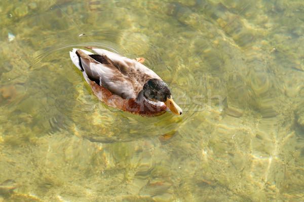 Fotó tiszta víz víz tavasz háttér madár Stock fotó © Nneirda