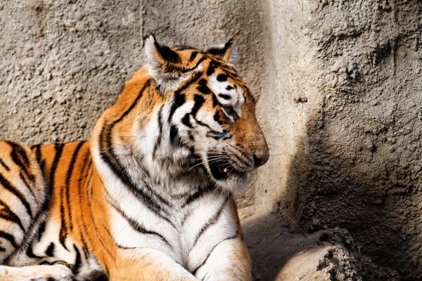 Foto stock: Tigre · mamá · zoológico · soleado · foto · naturaleza