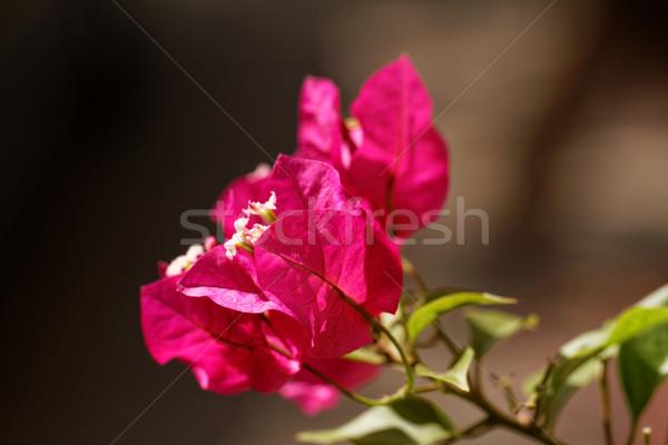Foto hermosa rosa árbol primavera Foto stock © Nneirda