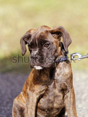 Boxer dog Stock photo © Nneirda