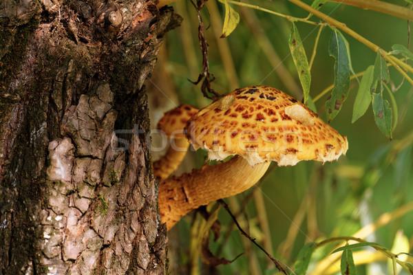 Brązowy drzewo grzyb Fotografia piękna żywności Zdjęcia stock © Nneirda