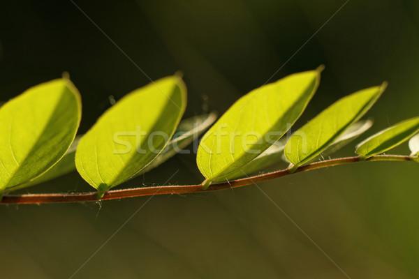Acacia leaf Stock photo © Nneirda