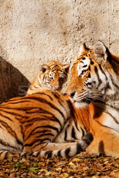 Foto stock: Tigre · mamá · zoológico · soleado · foto