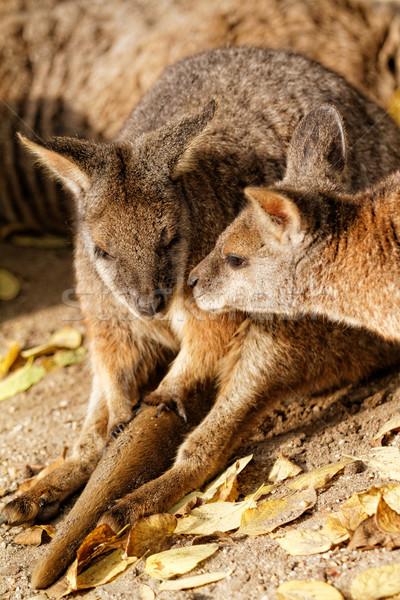 Kangoeroe dierentuin najaar zonnige foto achtergrond Stockfoto © Nneirda