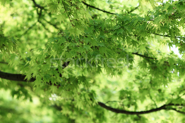 Grean leaves Stock photo © Nneirda