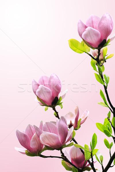 весны магнолия дерево цветок природы Сток-фото © Nneirda