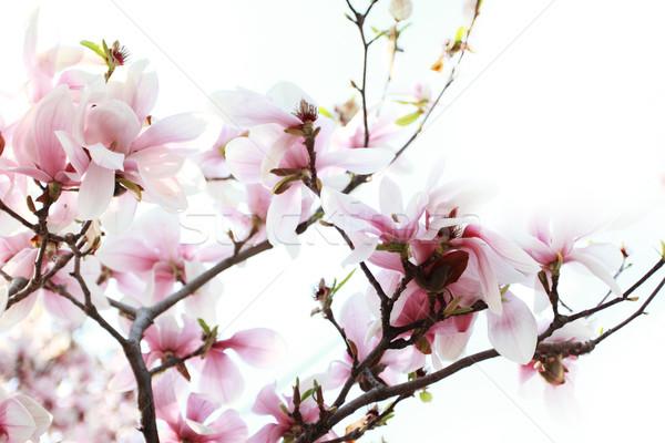 магнолия дерево весны природы лет Сток-фото © Nneirda