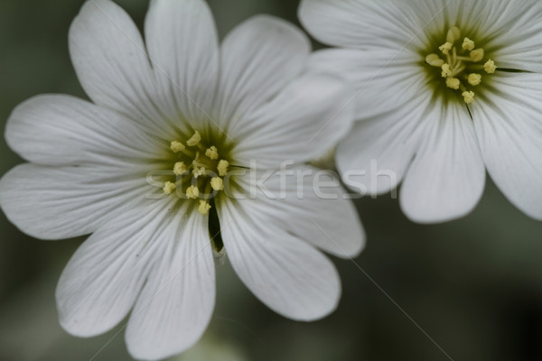 Blanche Rock fleur jardin de fleurs été groupe Photo stock © Nneirda