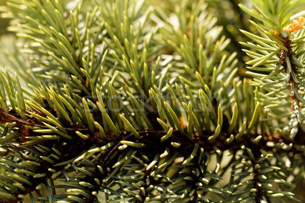 Groene pine foto natuur winter Stockfoto © Nneirda