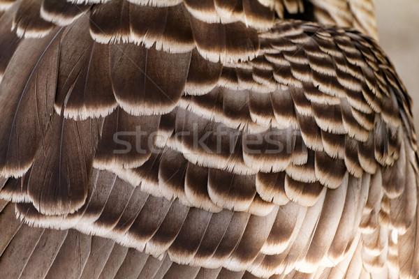 Foto marrom pássaro pena Foto stock © Nneirda
