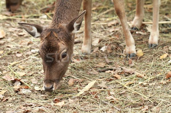 Cute deer Stock photo © Nneirda
