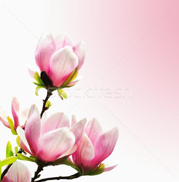 весны магнолия дерево розовый цветок Сток-фото © Nneirda