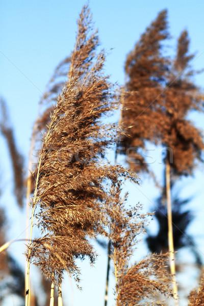 Reed Stock photo © Nneirda