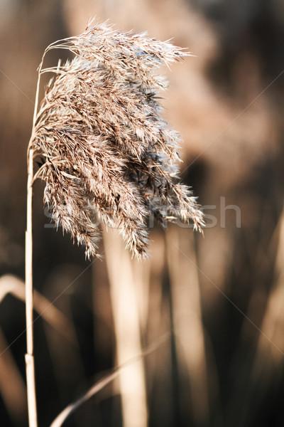 Yellow reed Stock photo © Nneirda