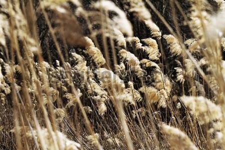 Dry plant Stock photo © Nneirda