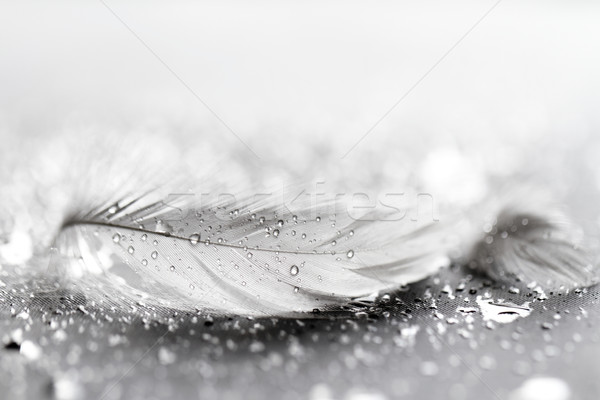 White feather with water drops Stock photo © Nneirda