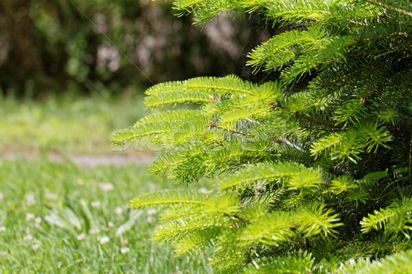 Fir tree Stock photo © Nneirda