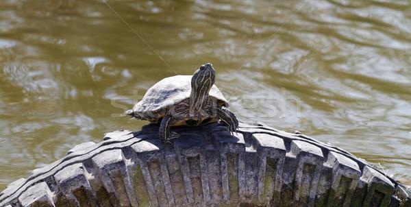 Cute schildpad vijver auto banden auto Stockfoto © Nneirda