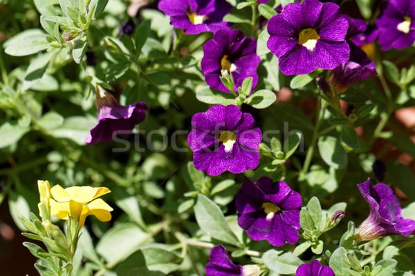 Purple petunia Stock photo © Nneirda
