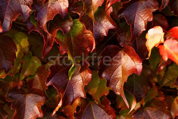 Creeping leaves Stock photo © Nneirda