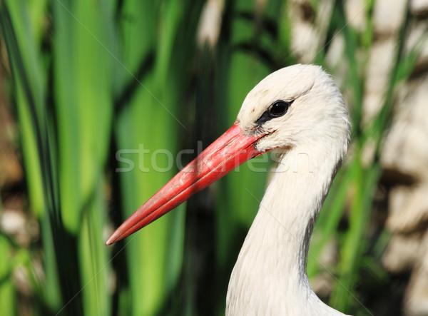 Stork Stock photo © Nneirda