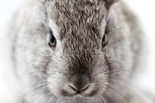 Gri tavşan tavşan yalıtılmış beyaz portre Stok fotoğraf © Nneirda