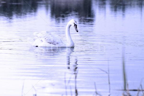 Solitario cisne hermosa puesta de sol lago azul Foto stock © Nneirda