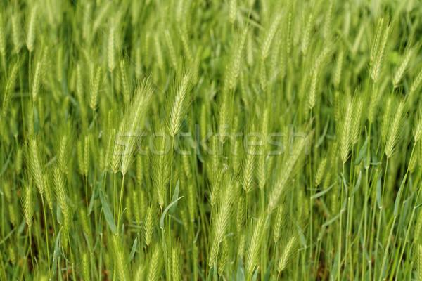 Zöld gabona közelkép fotó gyönyörű háttér Stock fotó © Nneirda
