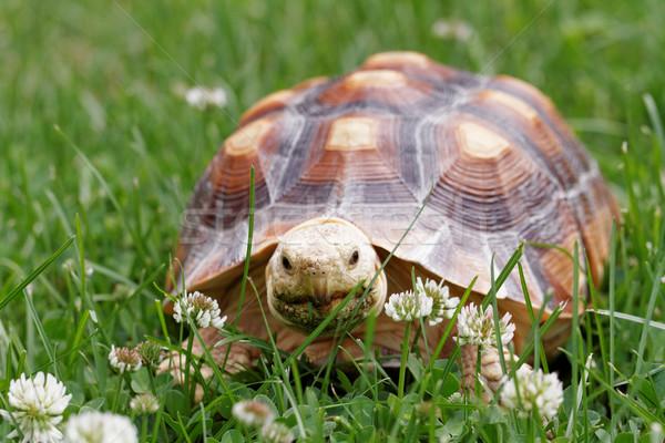 African Spurred Tortoise Stock photo © Nneirda