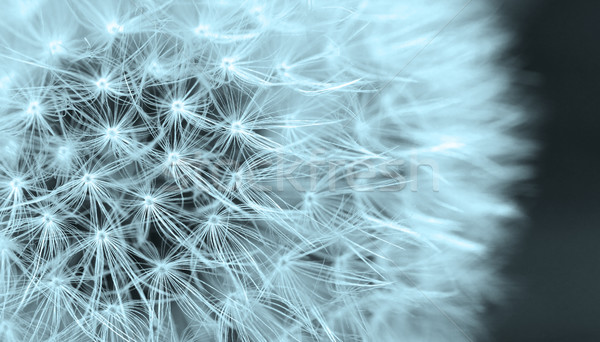 The Dandelion background. Stock photo © Nneirda