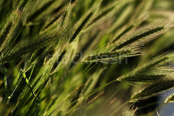 Yeşil buğday fotoğraf çim doğa Stok fotoğraf © Nneirda