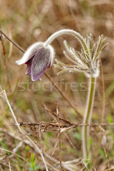 Mor güzel bahar çayır sevmek Stok fotoğraf © Nneirda
