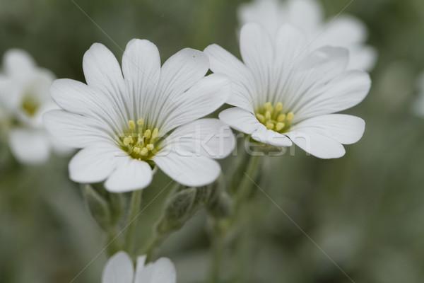 Branco rocha flor jardim de flores verão grupo Foto stock © Nneirda
