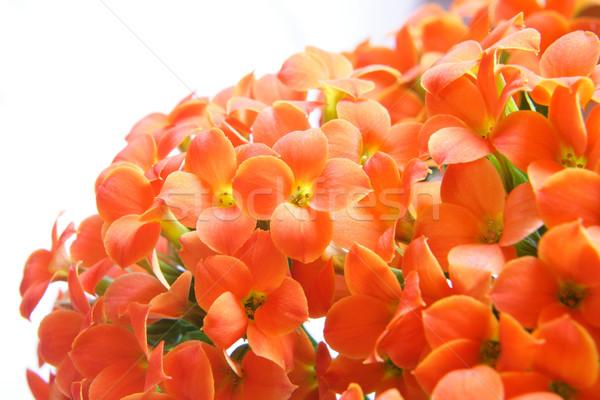 美しい 花 写真 オレンジ デザイン ストックフォト © Nneirda