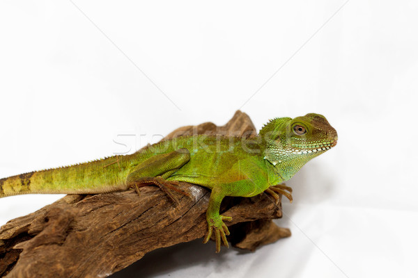 Agama Stock photo © Nneirda