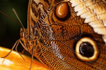 Macro photograph of a butterfly  Stock photo © Nneirda