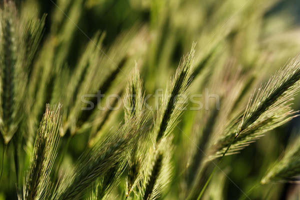 Green wheat Stock photo © Nneirda