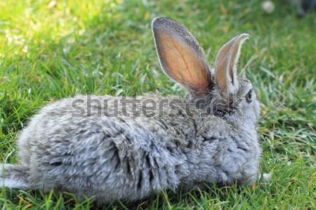 Gray rabbit  Stock photo © Nneirda