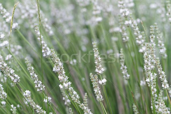 Beyaz lavanta çiçekler bahar alan arka plan Stok fotoğraf © Nneirda