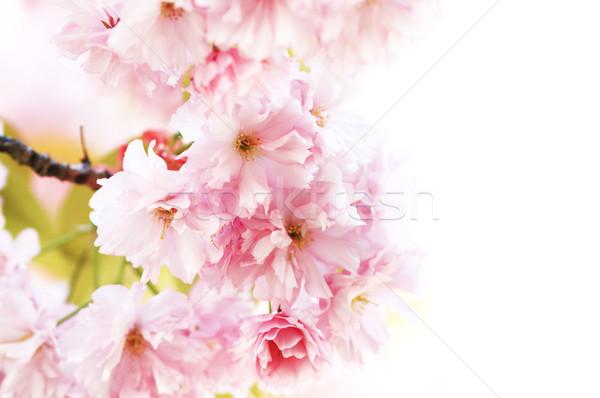 Cherry blossom Stock photo © Nneirda