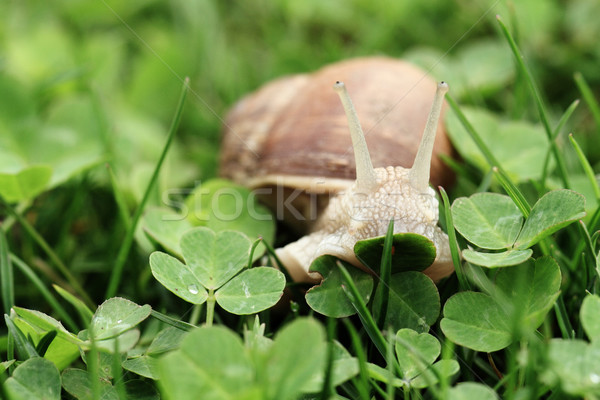 Snail. Helix pomatia. Stock photo © Nneirda
