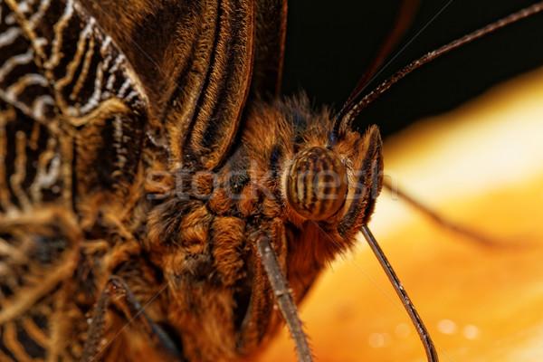 Macro photograph of a butterfly  Stock photo © Nneirda