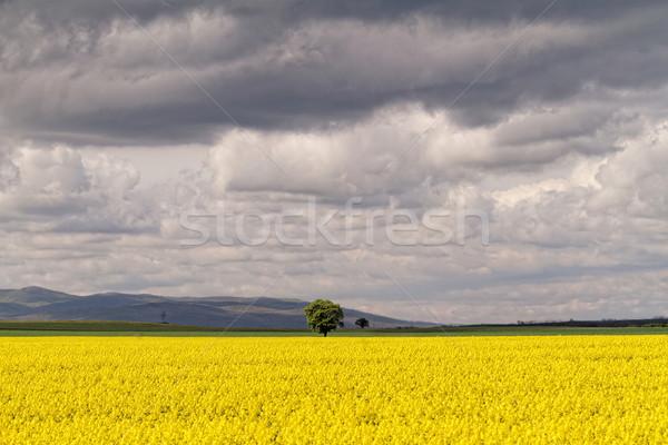 Mező égbolt felhők virág fa tavasz Stock fotó © Nneirda
